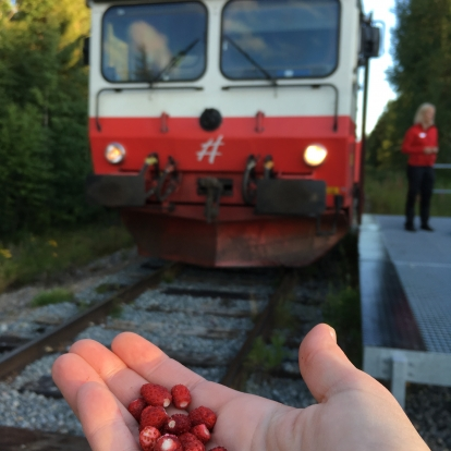 Inlandsbanan train and berries during summer traffic