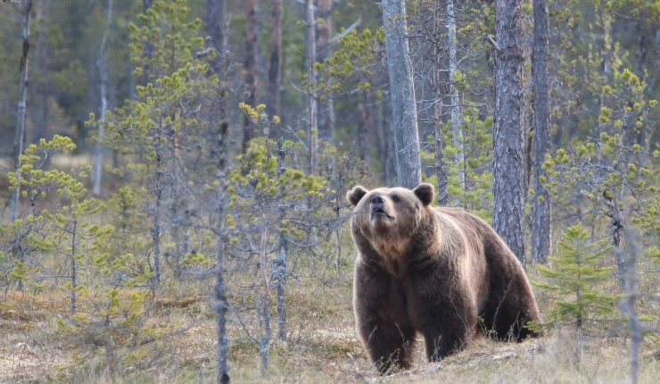 Bear watching in Jämtland