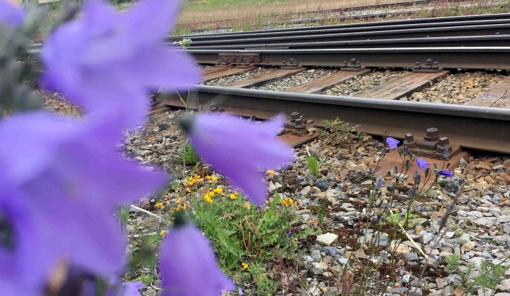 järnvägsräls och blåklockor